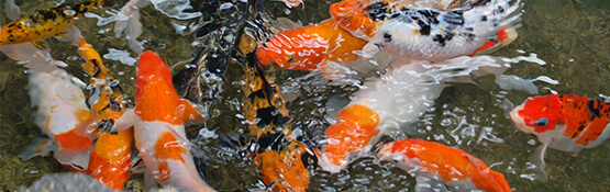 Aquatics hollybush garden centre and aquaria staffordshire for Japanese koi centre